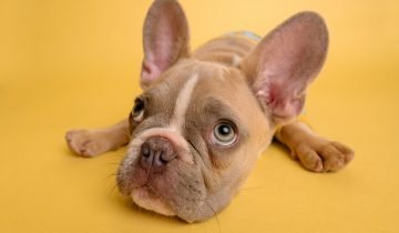 De 5 mest almindelige mave- og fordøjelsesproblemer hos hunde, og hvordan man løser dem
