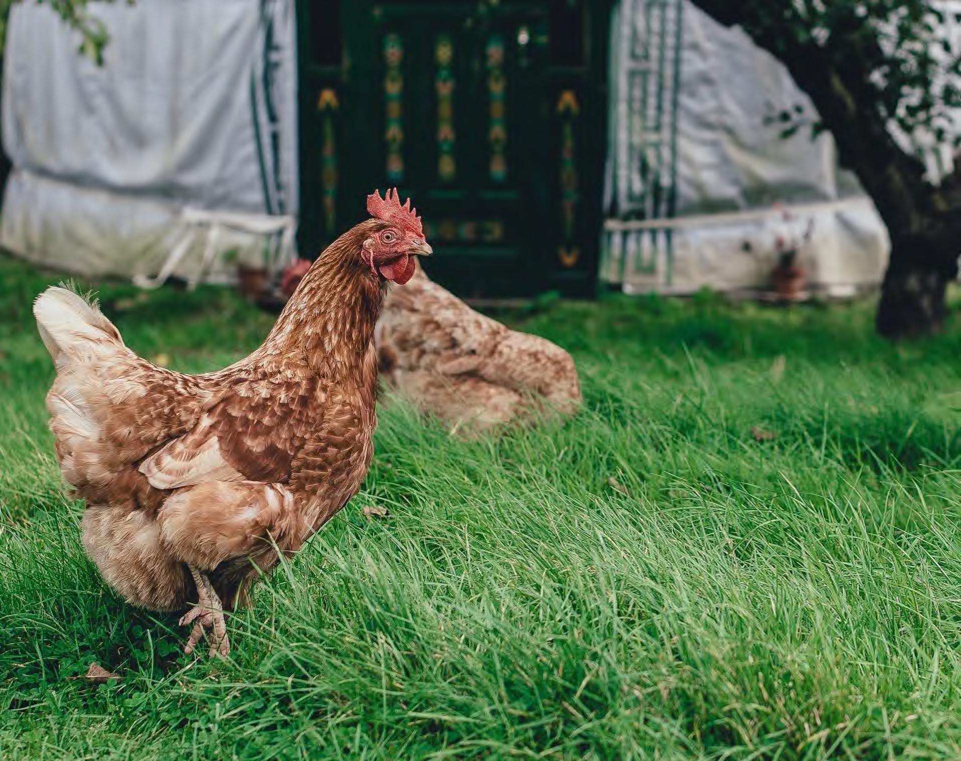 maet chicken
